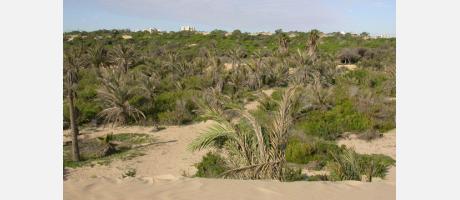 Vista de las dunas y la pinada de Guardamar