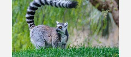 Lemur en Bioparc