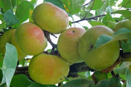 Fiesta de la Manzana Esperiega en la comarca del Rincón de Ademuz