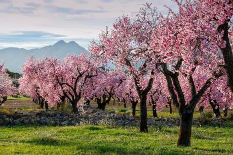 "FESLALI ""Alcalalí en Flor""  The Almond Blossom."